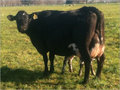 HF CROSSBRED COW