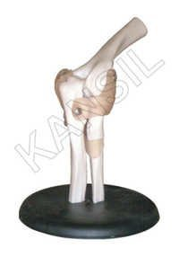 Elbow Joint Model