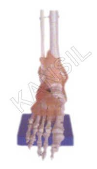 Life-Size Foot Joint with Ligaments Model