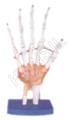 Life-Size Hand Joint with Ligaments Model