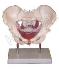 Female pelvic muscles and organs Model