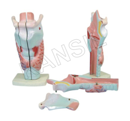 Human Larynx Model Magnified Model