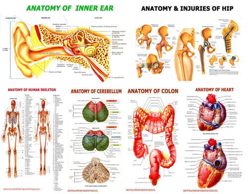 Charts on Anatomy