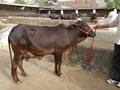 SAHIWAL KAPILA COW