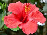Hibiscus Extract