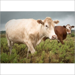 Cattle On Pasture In Texas