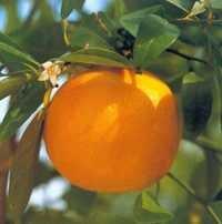 Grapefruit Oil  2