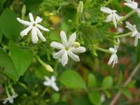 Jasmine Absolute Oil (grandiffora) 2