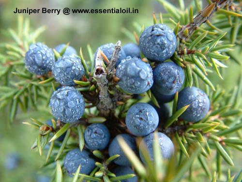 Juniper, Berry oil