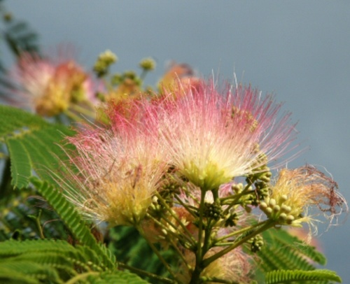 Mimosa Absolute