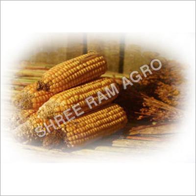 Yellow Corn Seed