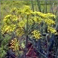 Anethum Graveolens