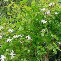 Jasminum Arborescens