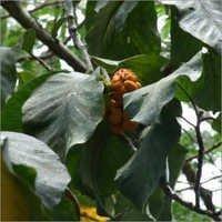 Artocarpus Lakoocha