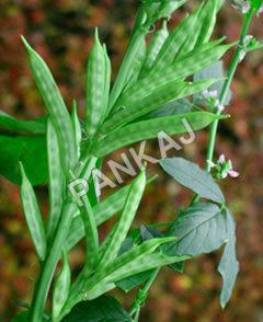 Guar Gum Plant
