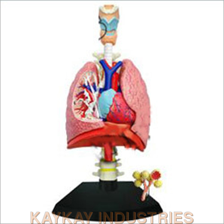 Lungs with Heart Models