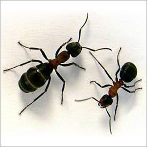 Ants Control Chemical
