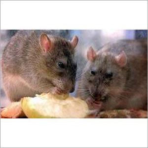 Field Rats Control