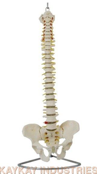 Life Size Human Vertebral Column