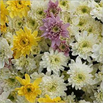 Natural Chrysanthemum Flower