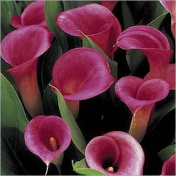 Zantedeschia Calla Lily