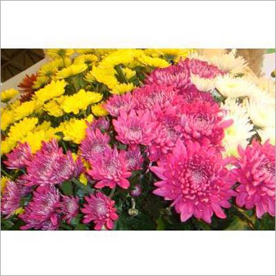 Chrysanthemum Flower Plant