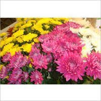 Chrysanthemum Flower Plant