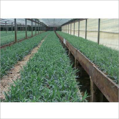 Carnation Plant Material