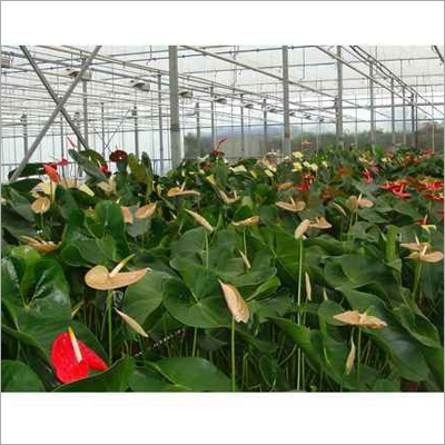 Anthurium Vogels