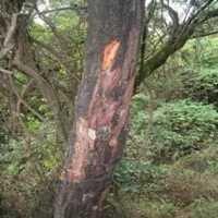 Pyegium Bark Extract