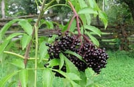 Elderberry Extract