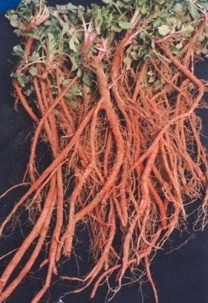 Salvia Root Extract