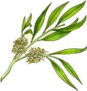 Tea Tree Oil Extract