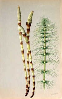 Horsetail ExtractHorsetail