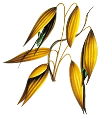 Avena Sativa Extract