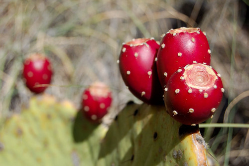 Prickly Pear Extract