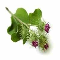 Burdock Extract Powder