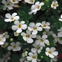 Bacopa Monari Extract