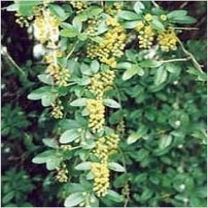 Berberi Aristata Extract