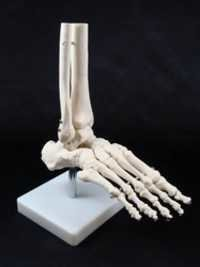 Human Foot Joint Model