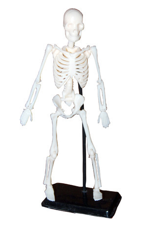 Mini Educational Skeleton Model