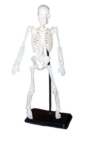 Mini Educational Skeleton Model