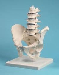 Human Male Pelvis With Lumbar Vertebrae