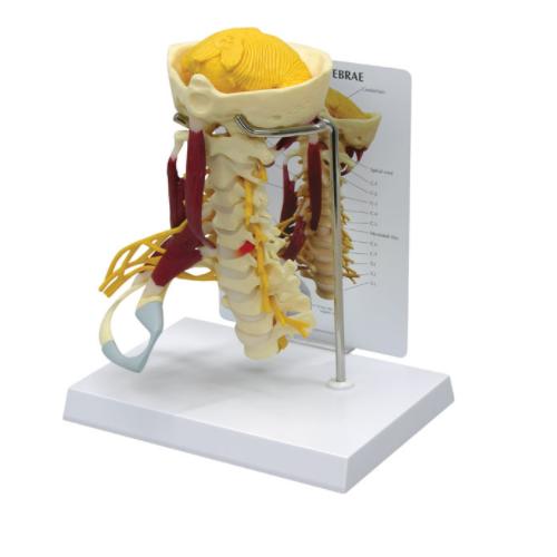 Cervical Spine Model