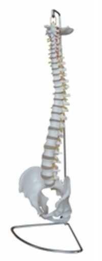 Human Spinal Column Model