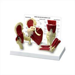 Mini Muscle Joint Model