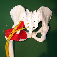 pelvis with nerves and muscles Model