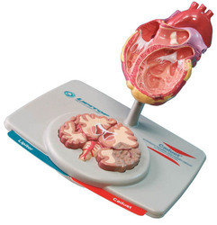 Lipitor Caduet Heart Model