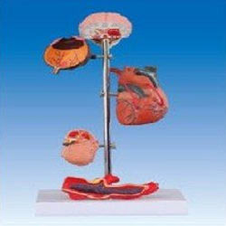 Hypertension Models