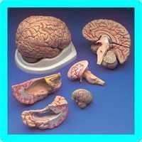 8 Part Brain Model